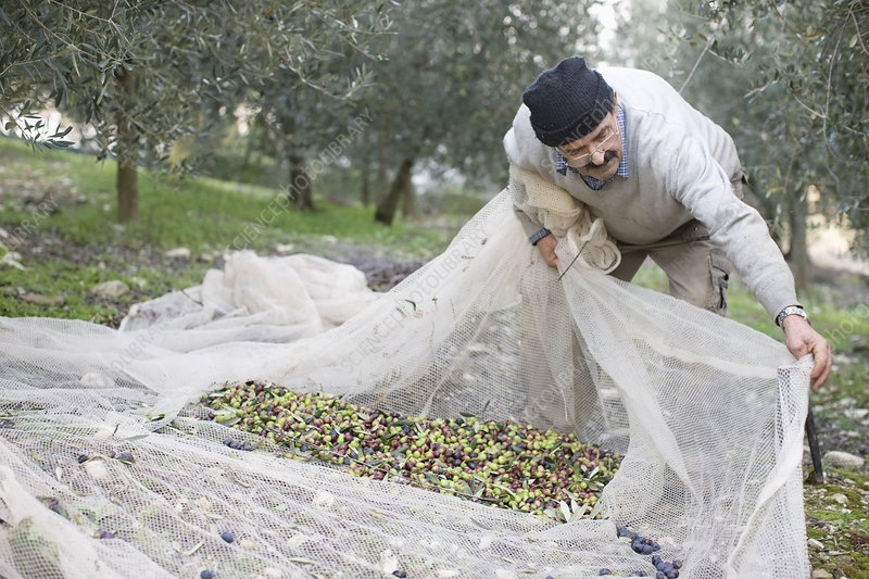 Old man harvesting olives