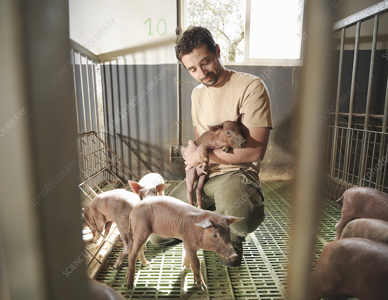 Man in pig pen holding a piglet