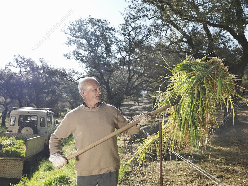 Farmer throwing hay into pig enclosure