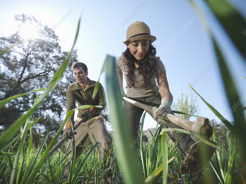 Man and woman working in garlic field