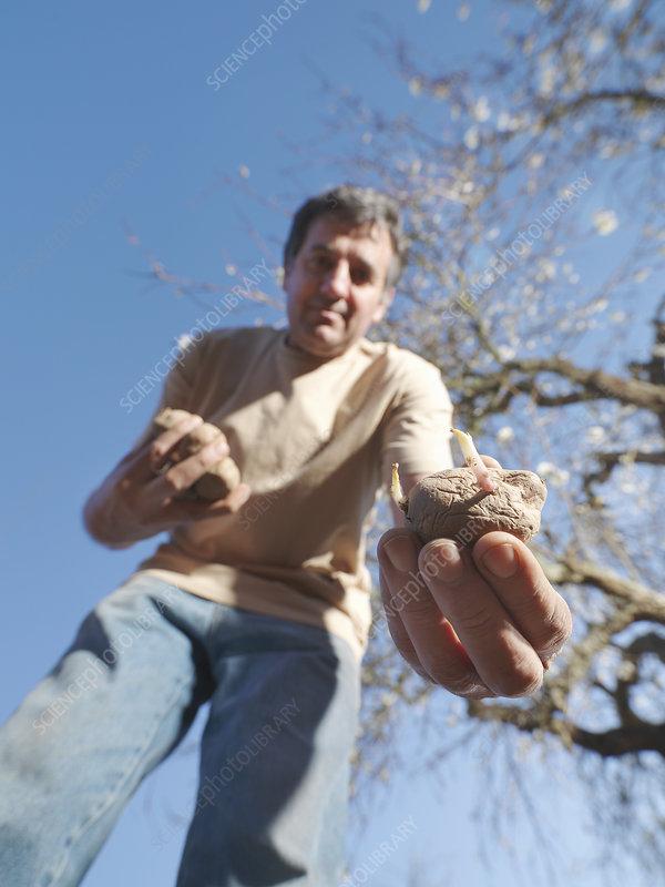 Man sowing potatoes
