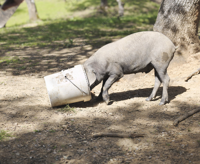 Iberico pig eating with head in bucket