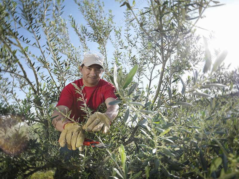 Man pruning olive trees