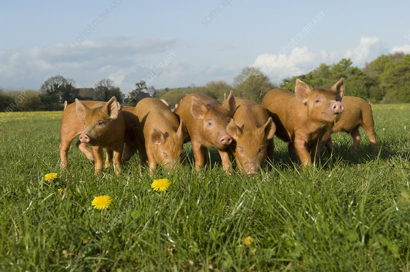 Piglets in field