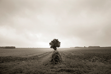 Lone tree in open field