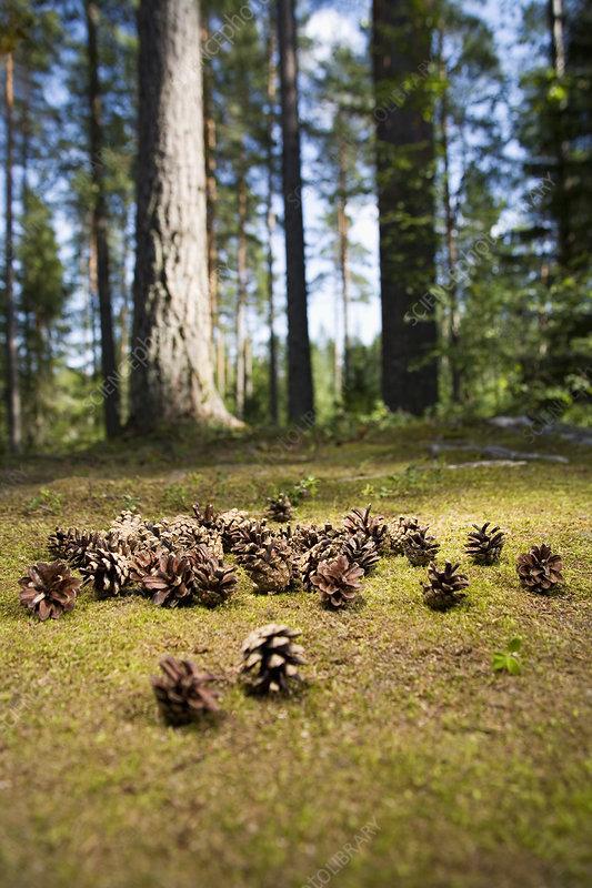 Pine cones on forest floor