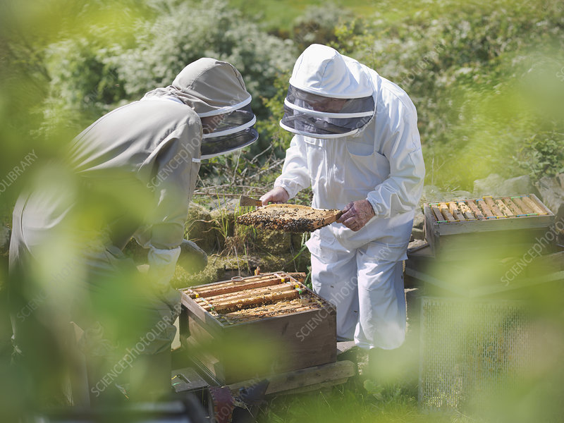 Beekeepers inspect bee hive