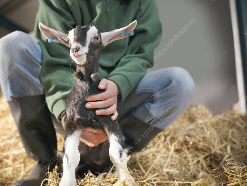 Worker holding kid goat on farm