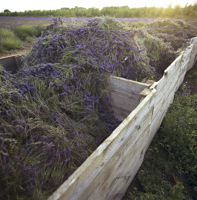 Harvested lavender crop in wooden boxes