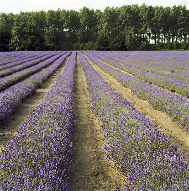 Field of lavender crops