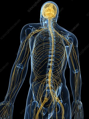 Human nervous system on display - photo#14