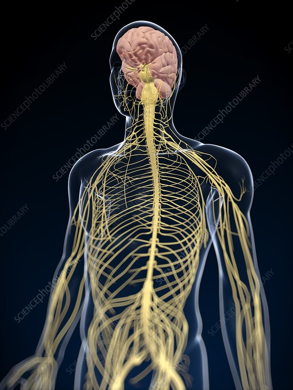 Human nervous system, artwork