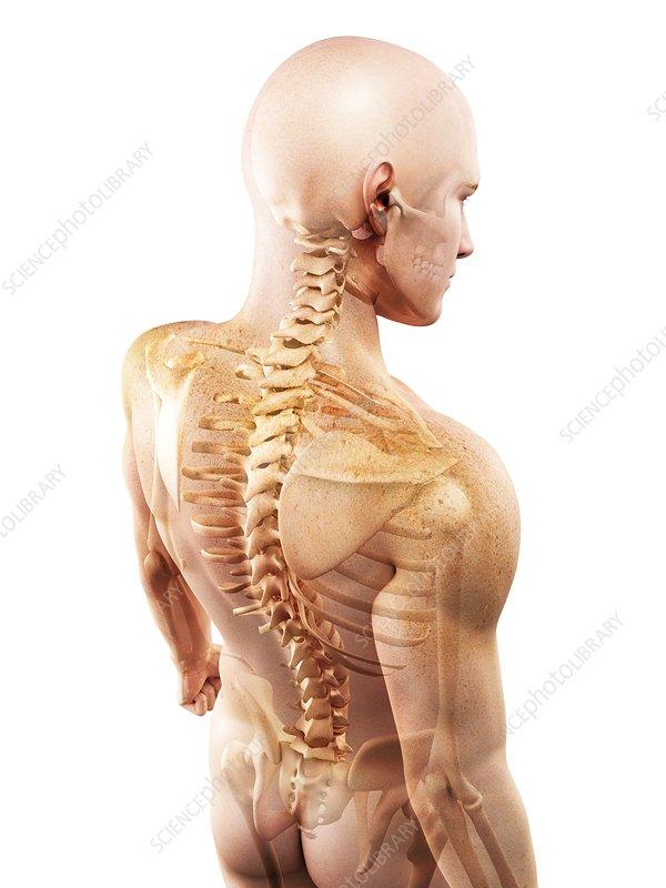 Upper body bones, artwork