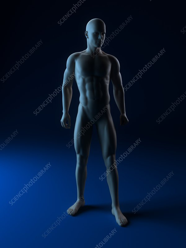 Male anatomy, artwork