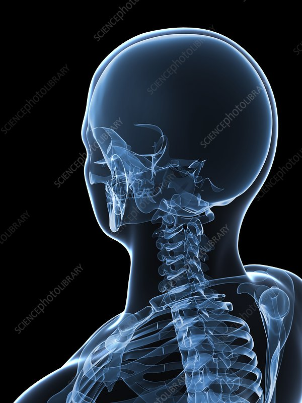 Skull and neck, artwork