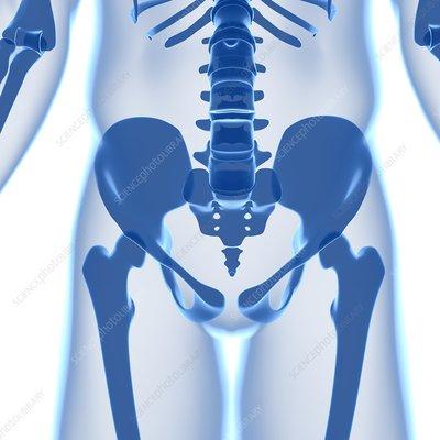 Pelvis bones, artwork