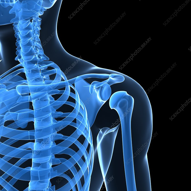 Shoulder bones, artwork - Stock Image F004/1742 - enlarged - Science ...