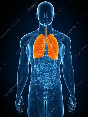Healthy lungs, artwork