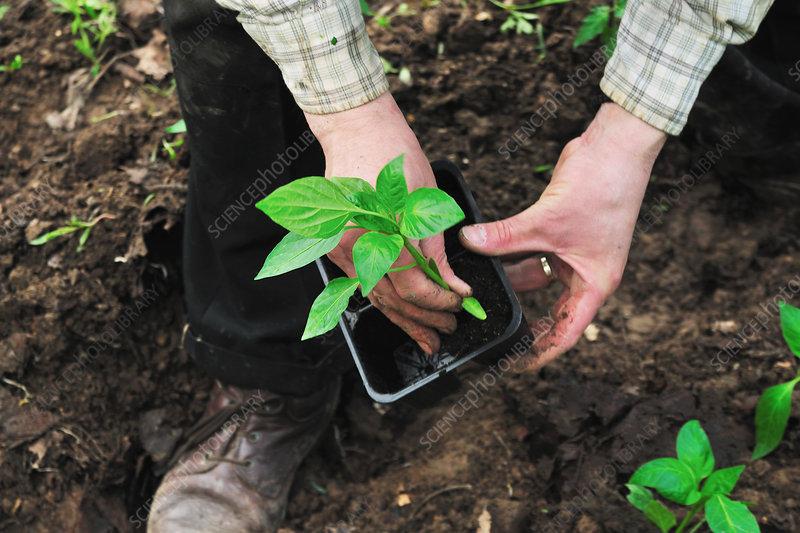 Man de-potting plant in soil
