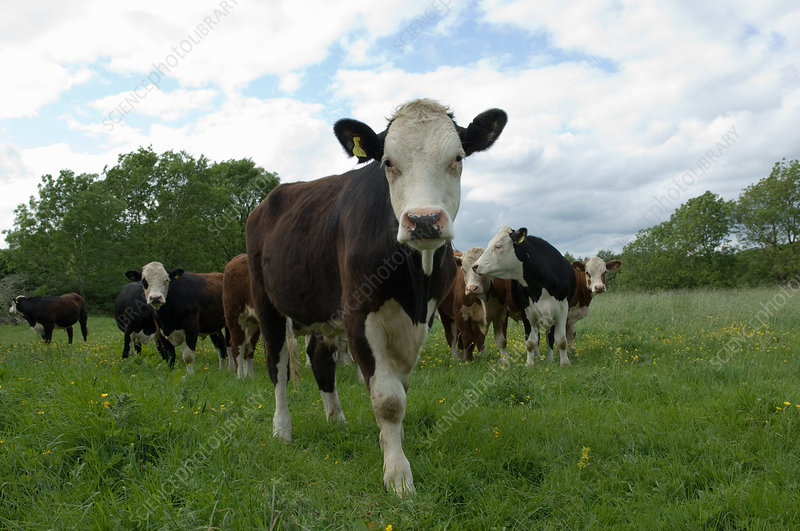 Cows standing in field