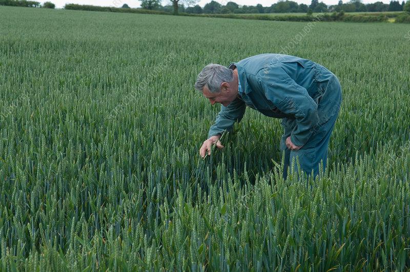 Farmer pruning in wheat field