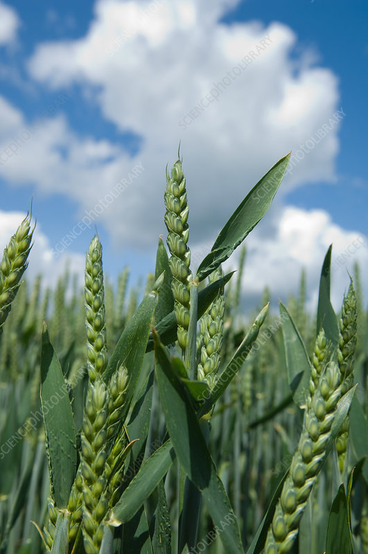 Close up of wheat stalks in field