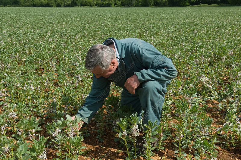 Farmer examining plants in field