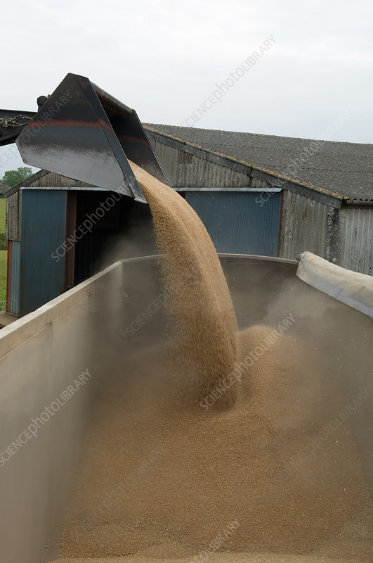 Bulldozer pouring wheat grain into truck