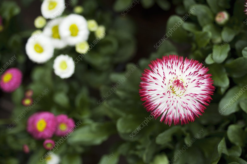 Close up of bellis perenis flower