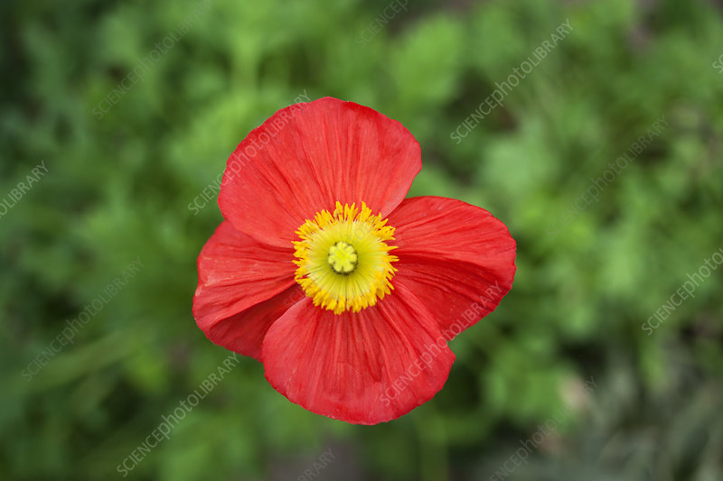 Close up of poppy flower