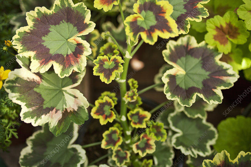 Close up of striped leaves of plant