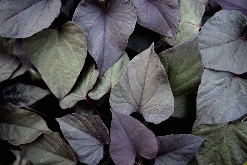 Close up of dark leaves of plant