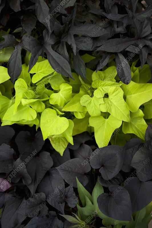 Bright green leaves against dark leaves