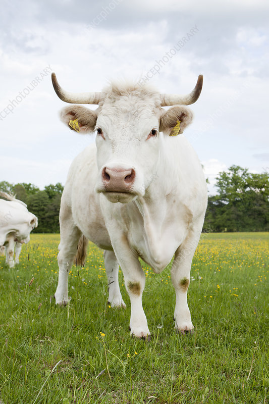 Cow standing in grassy field