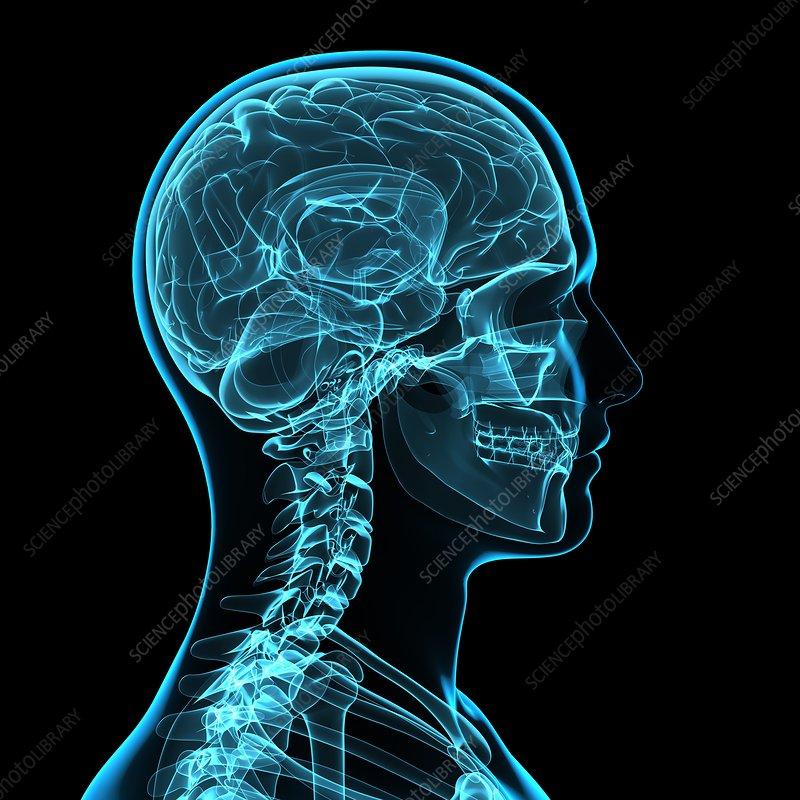 Head anatomy, artwork