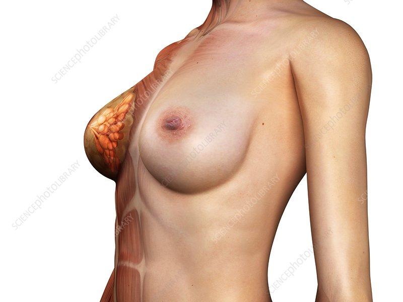 Female muscles, artwork