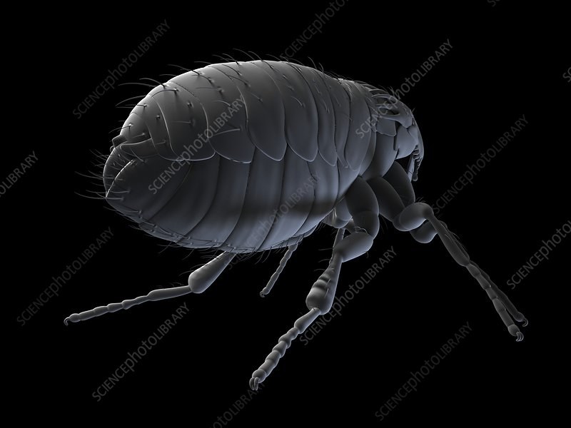 Cat flea, artwork