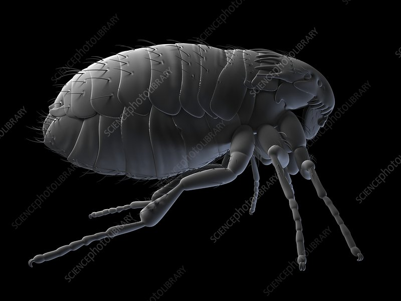 Cat flea, artwork