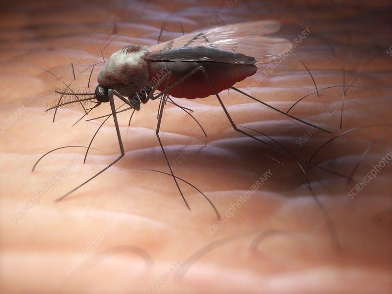 Mosquito, artwork