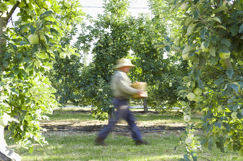 Man picking apples in orchard