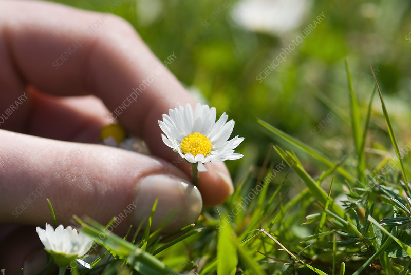 Close up of woman picking daisy