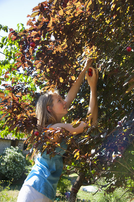 Woman picking wild plums outdoors