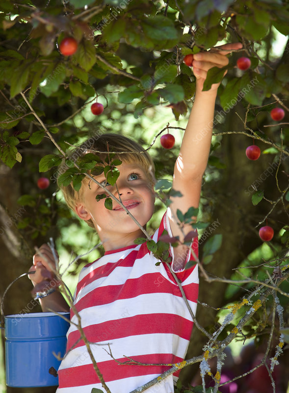 Boy picking wild plums outdoors