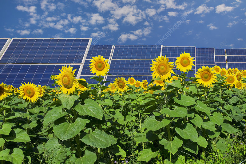 Solar panels in field of sunflowers