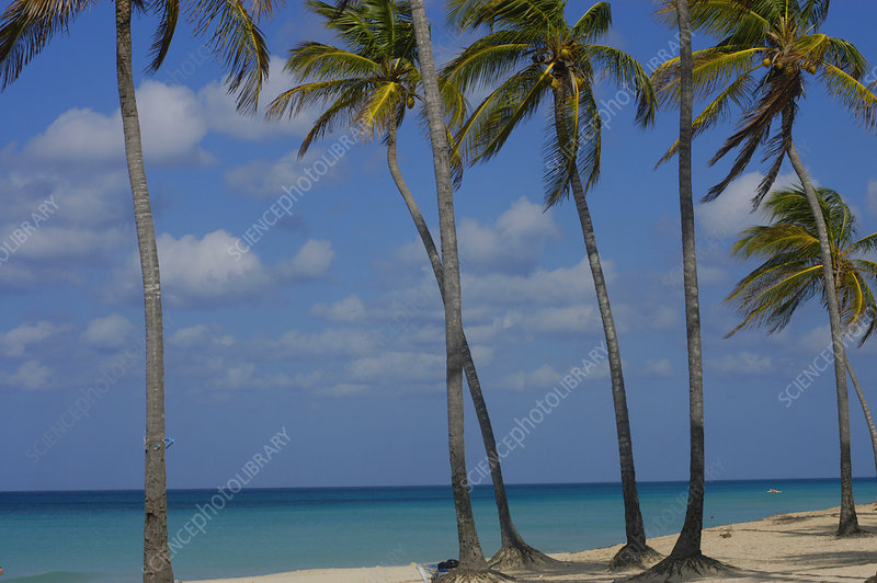 Palm trees in wind on beach