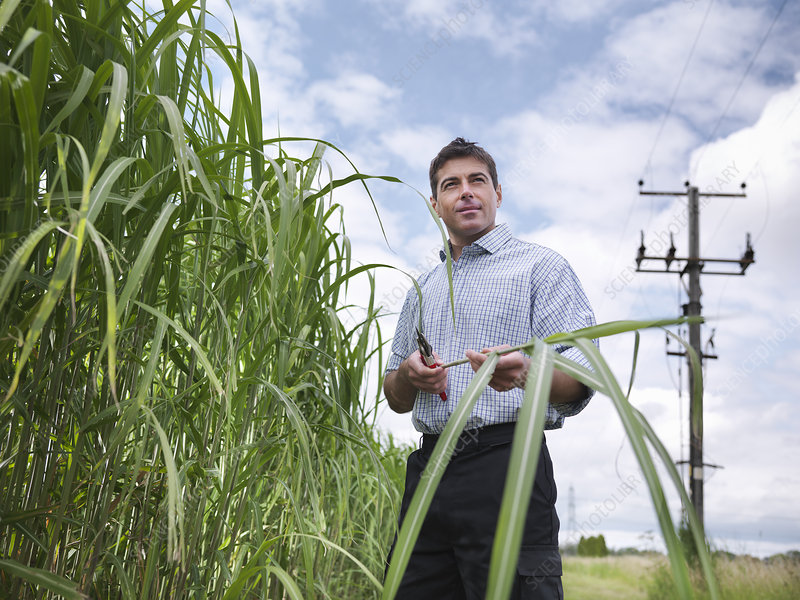 Farmer examining biomass fuel crop