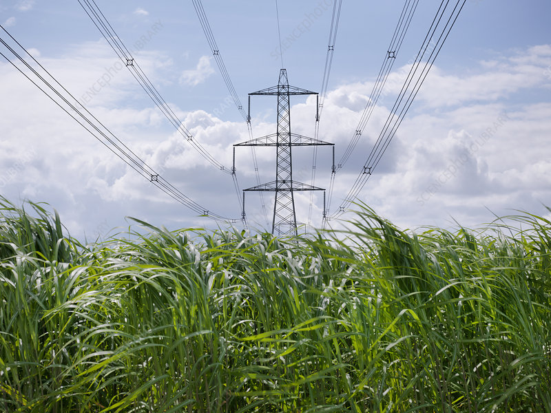 Biomass fuel crop growing by power lines