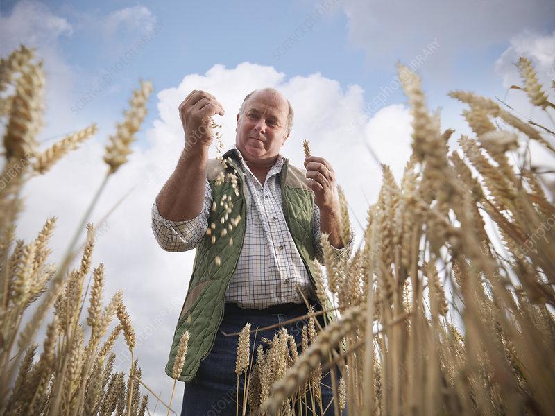 Farmer examining wheat grain in field