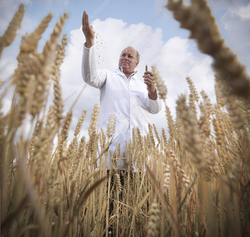 Scientist examining wheat grain in field