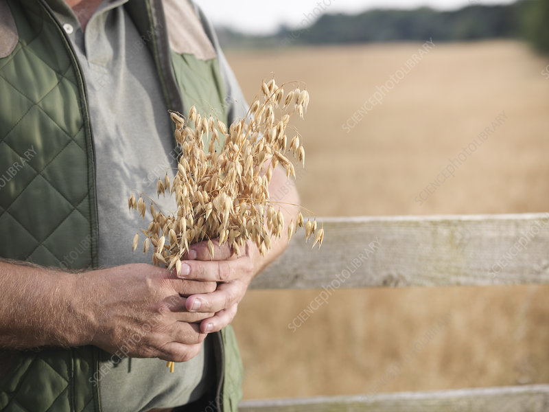 Farmer holding oat stalks in field